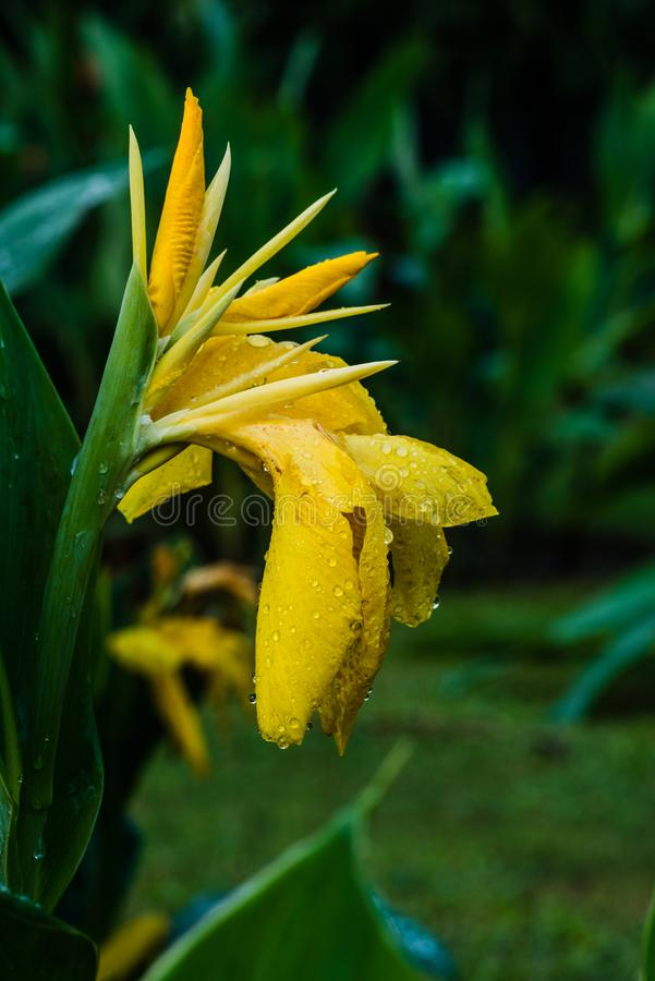 Yellow colored Canna lily. Beautiful yellow colored Canna lily with rain drops over it`s petal stock photos