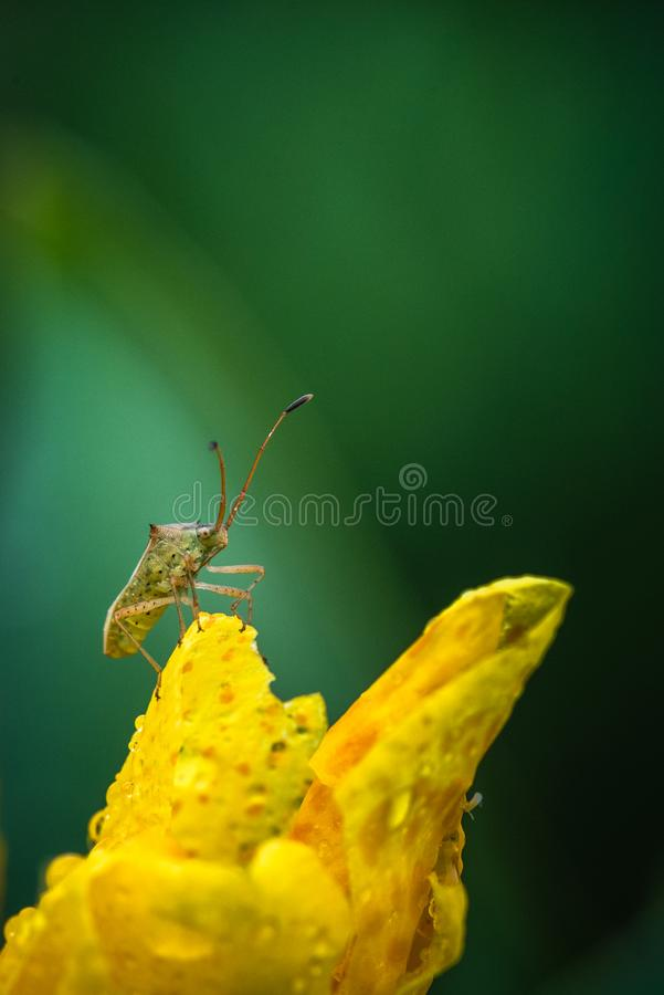 Yellow colored Canna lily. Flower with a bug stock images