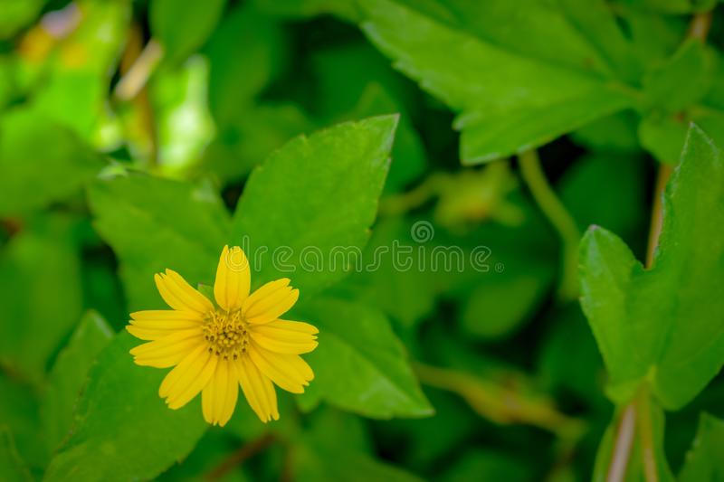 Yellow colour flower with green tree at the background, Small little yellow flower in Bali Indonesia royalty free stock image