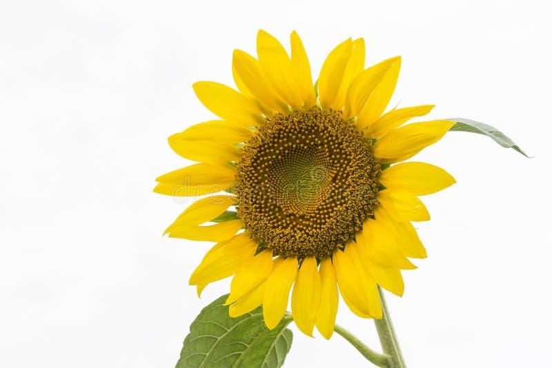 Yellow colour sunflower stock photos