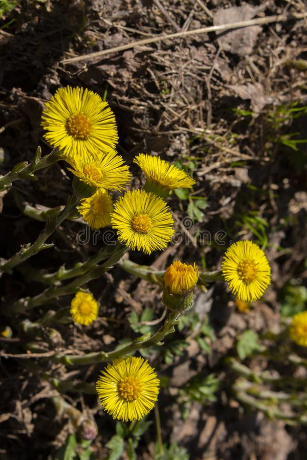 Yellow coltsfoot flower foalfoot vertical photo close-up low key, medical herbs. flowers with petals and round heart royalty free stock photography