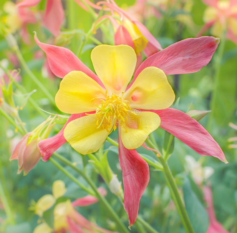 Yellow columbine stock image