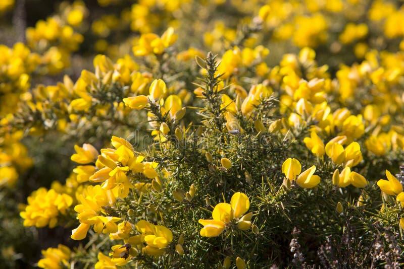 Yellow common gorse flowers royalty free stock photos