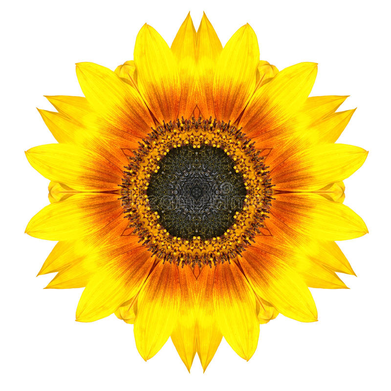Yellow Concentric Sunflower Flower Isolated on White. Mandala Design. Yellow Concentric Sunflower, Flower Isolated on White Background. Kaleidoscopic Mandala stock images