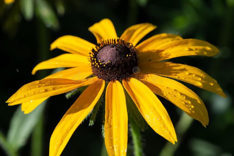 Yellow Coneflower flowering perennial plant from Asteraceae family. Echinacea paradoxa a North American species in the sunflower. Yellow Coneflower flowering stock photography