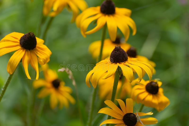 Yellow Coneflower Sun flowers Rudbeckia hirta contrasted with a green backdrop in the summer sun.  royalty free stock image