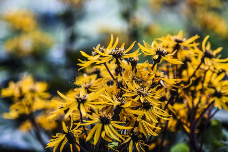 Yellow coneflowers blooming in garden, summer time early autumn.  stock images