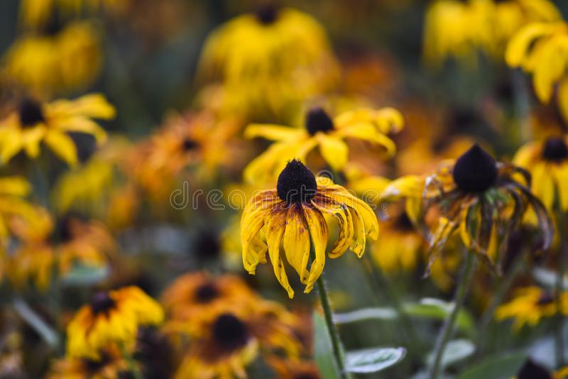 Yellow coneflowers blooming in garden, summer time early autumn.  stock photo
