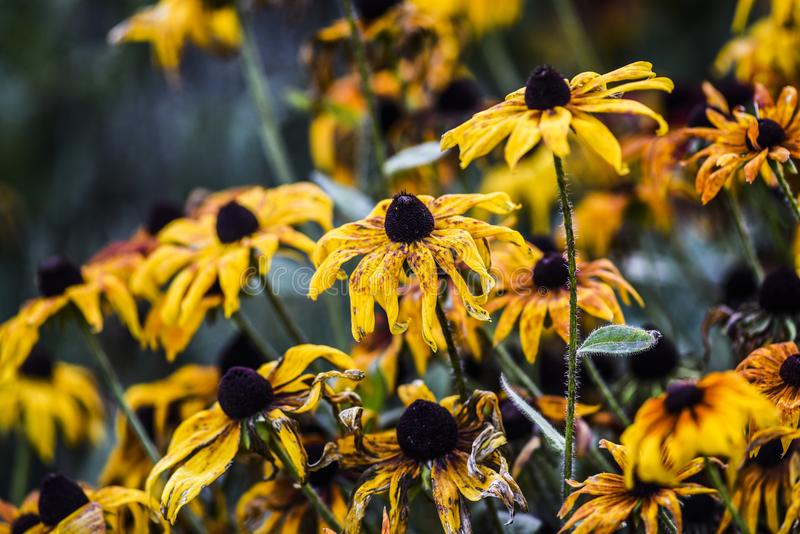 Yellow coneflowers blooming in garden, summer time early autumn.  royalty free stock photos
