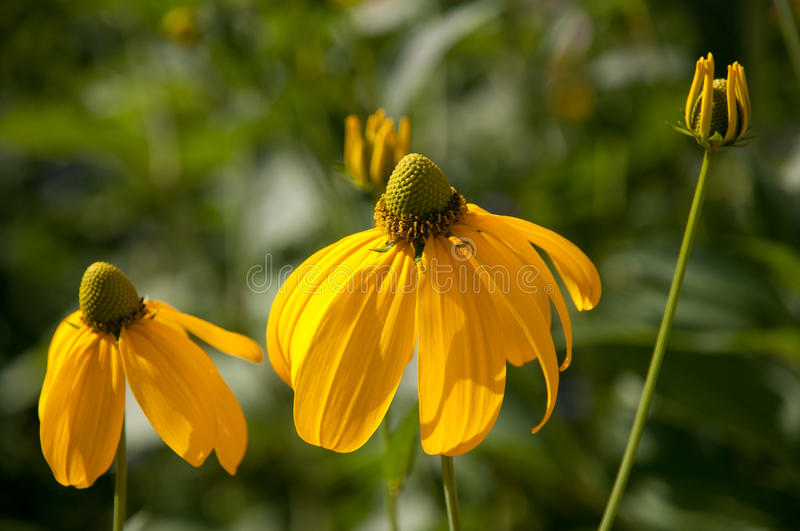 Yellow coneflowers and bud in garden royalty free stock image