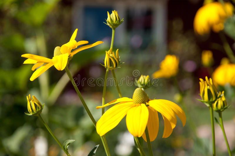 Yellow coneflowers and bud in garden royalty free stock images
