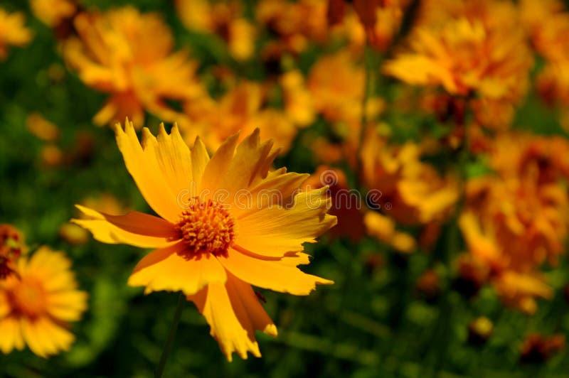 Yellow Coreopsis stock image