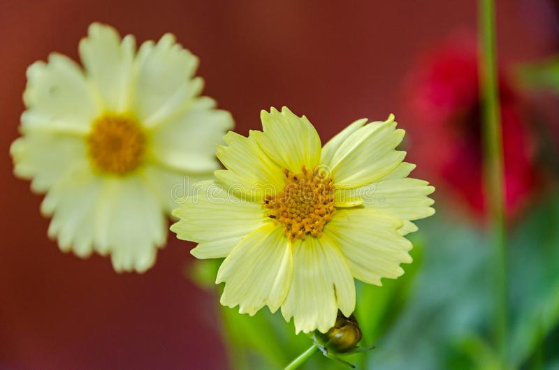 Yellow Coreopsis grandiflora flowers, baby gold, close up royalty free stock images