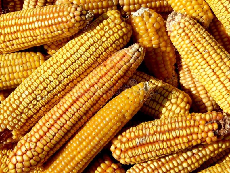 Download Yellow corn stock photo. Image of farm, market, garden - 15795124