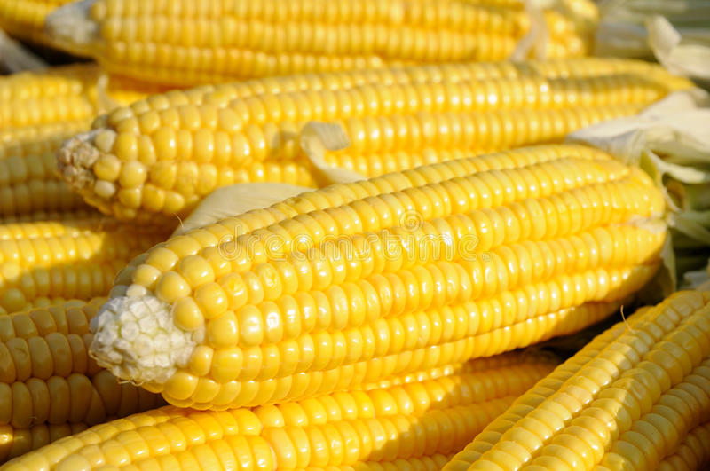 Download Yellow corn on cob stock photo. Image of kernel, food - 10981364