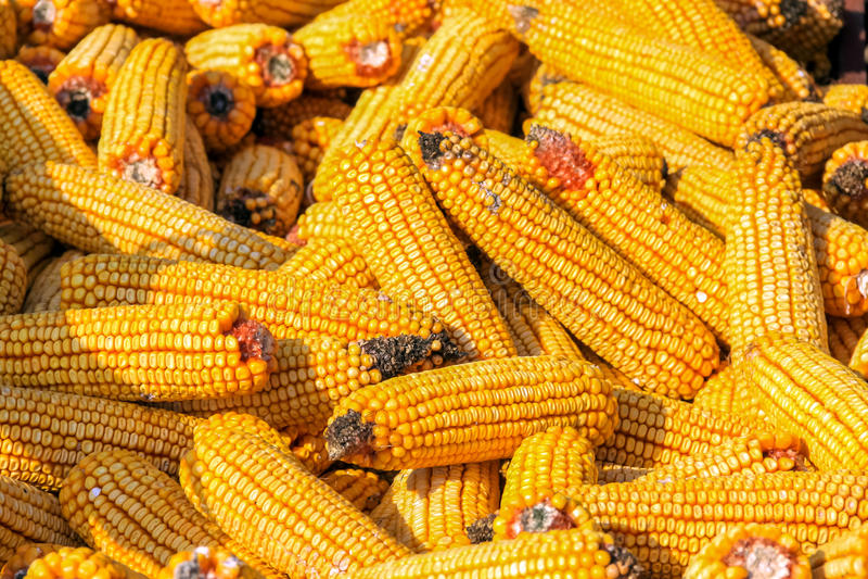 Yellow corn cobs stock photos