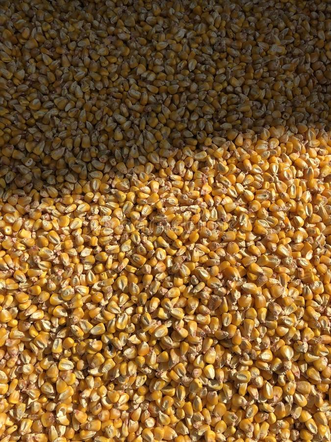 Yellow corn grains. Photo for your design stock photo
