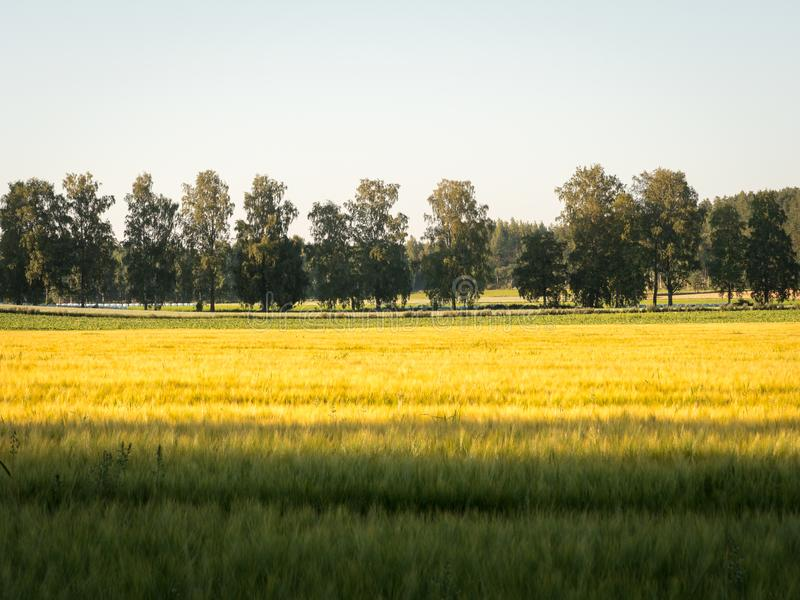 Yellow cornfield and row of trees. Yellow cornfield with row of trees in the background stock image