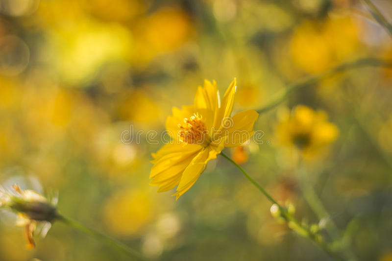 Yellow cosmos flower against sunlight. Yellow cosmos flower against sunlight in morning royalty free stock photography