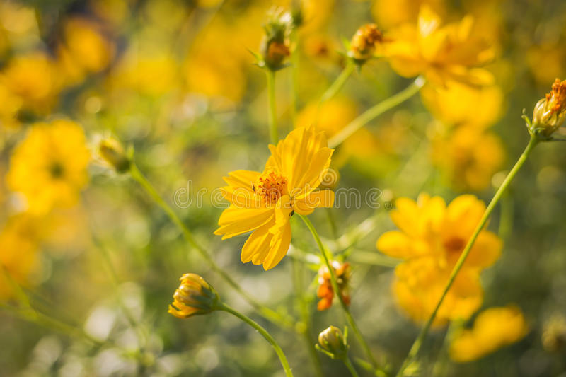 Yellow cosmos flower against sunlight. Yellow cosmos flower against sunlight in morning royalty free stock photos