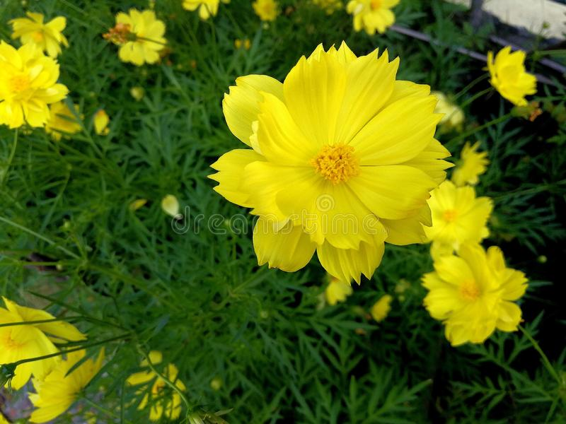 Yellow cosmos flower blooming out in the garden, close up. royalty free stock photo