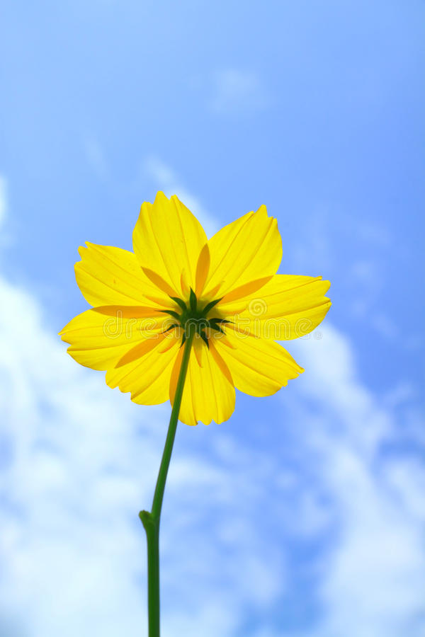 Download Yellow Cosmos Flower On Blue Sky Stock Image - Image: 21478341
