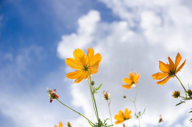 Yellow Cosmos flower royalty free stock photo