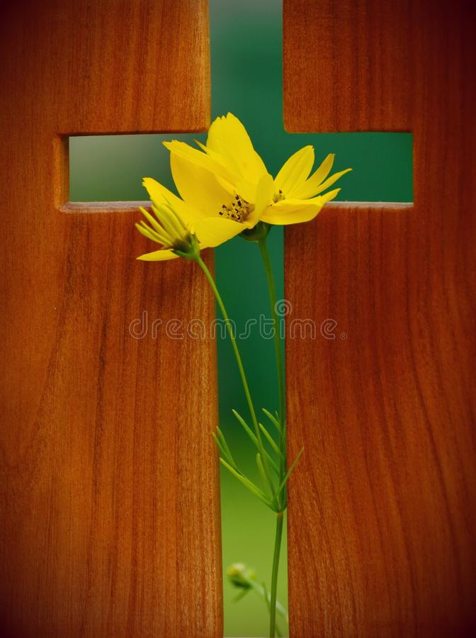 Yellow Cosmos Flower in Green Cross Wooden Decor royalty free stock photography