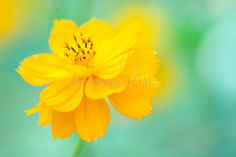 Yellow cosmos flower on a soft green background. A beautiful yellow flower. Selective focus. royalty free stock image