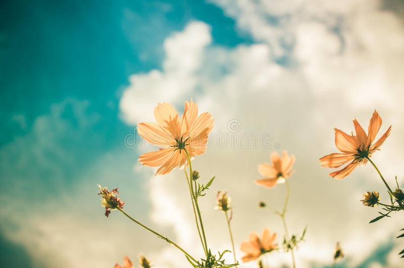 Yellow Cosmos flower vintage royalty free stock image