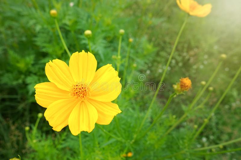 Yellow cosmos flower stock image image of fresh coin 112735647 download yellow cosmos flower stock image image of fresh coin 112735647 mightylinksfo
