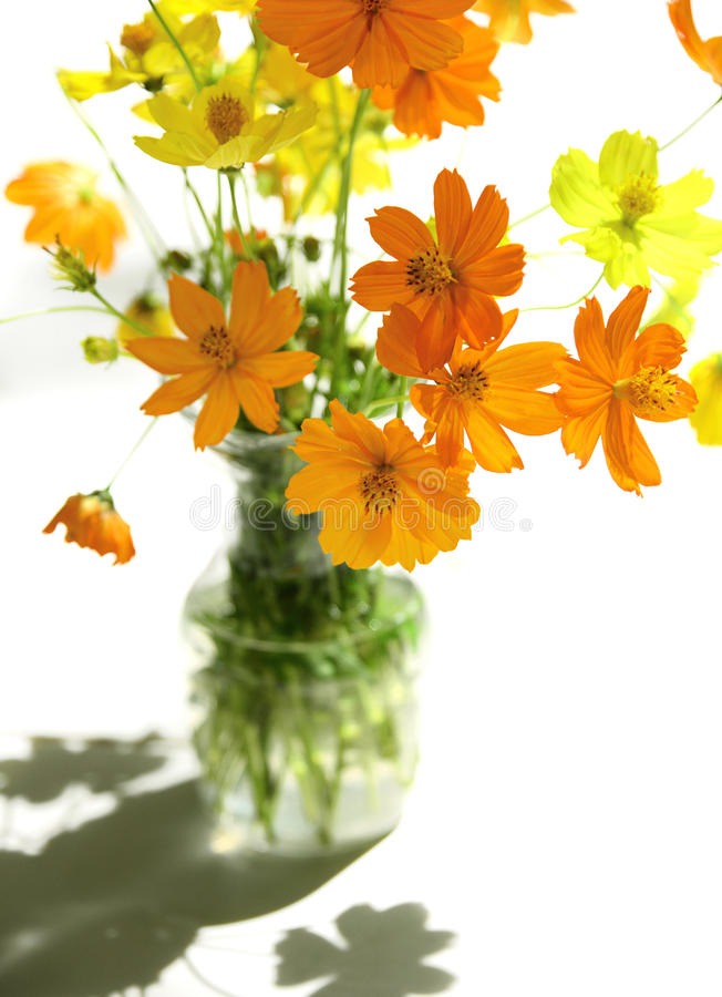 Free Yellow Cosmos Flowers Decorated In Glass Bottle On White Table Stock Images - 92402004