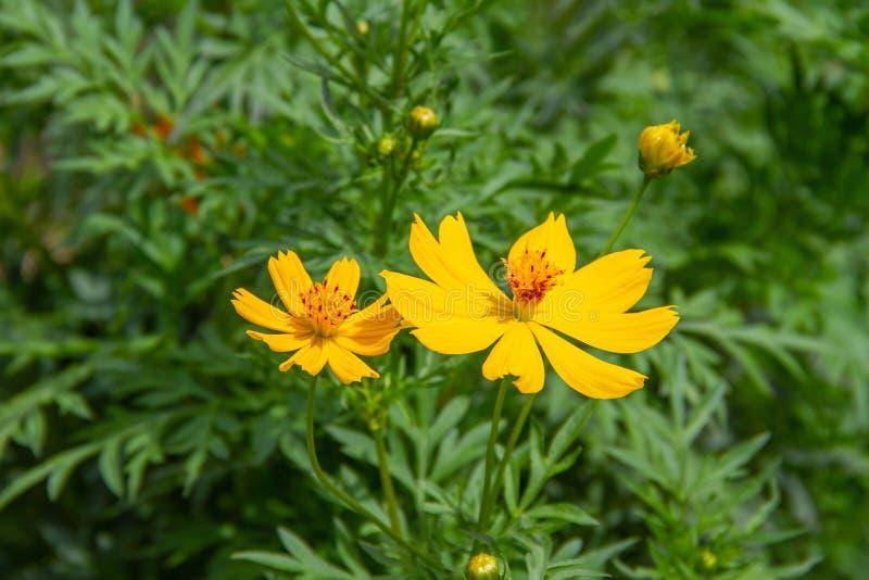 Yellow cosmos flowers stock photos