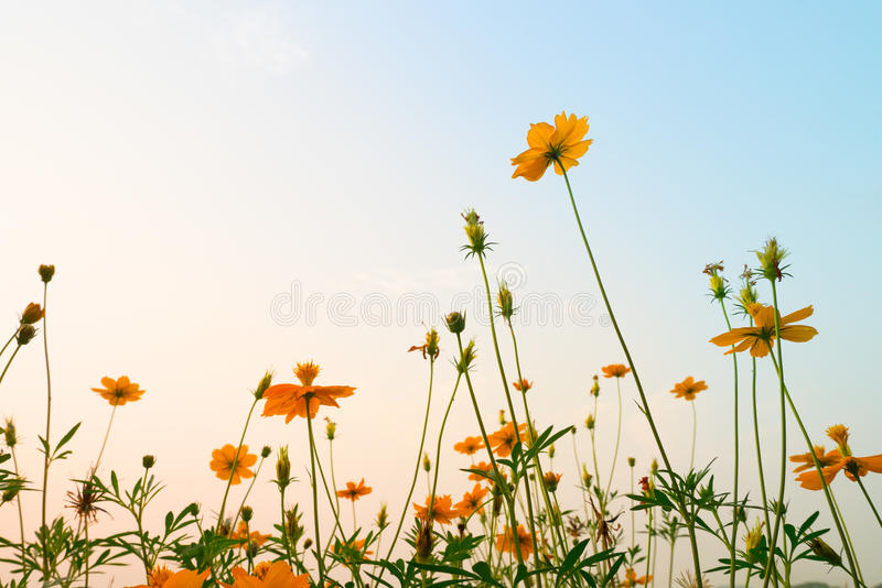 Yellow Cosmos flowers meadow next to riverside - evening lighting royalty free stock image