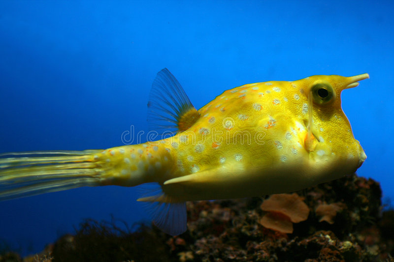 Yellow cow fish royalty free stock images