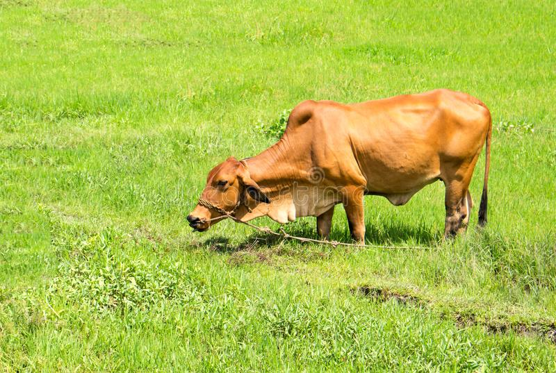 Yellow cow on green grass meadow. Agriculture land. Sunny pasture landscape. stock image