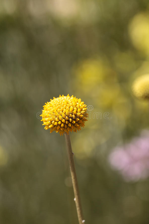 Yellow Craspedia Billy balls flower. Blooms in a botanical garden in spring royalty free stock images