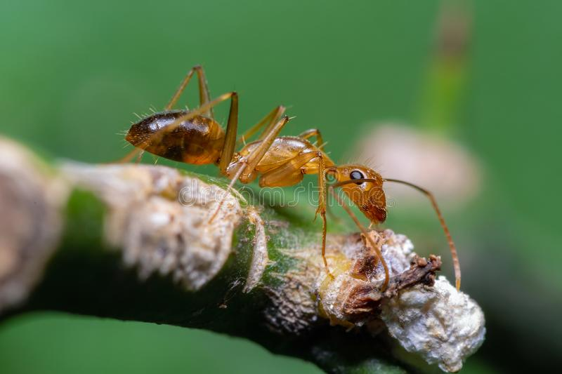 Yellow crazy ant on branch with green background, Thailand royalty free stock photos