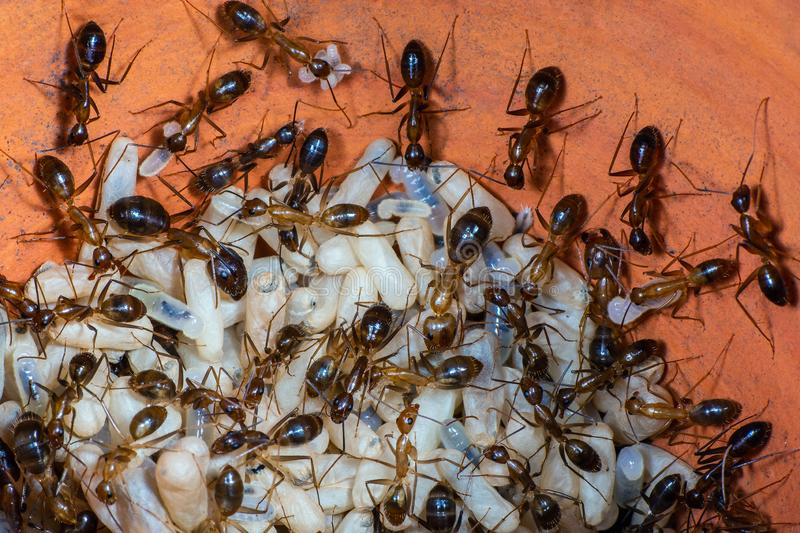 The Yellow Crazy Ant, orange ants and eggs in nest. The Yellow Crazy Ant or Anoplolepis gracilipes , orange ants and eggs in nest royalty free stock images