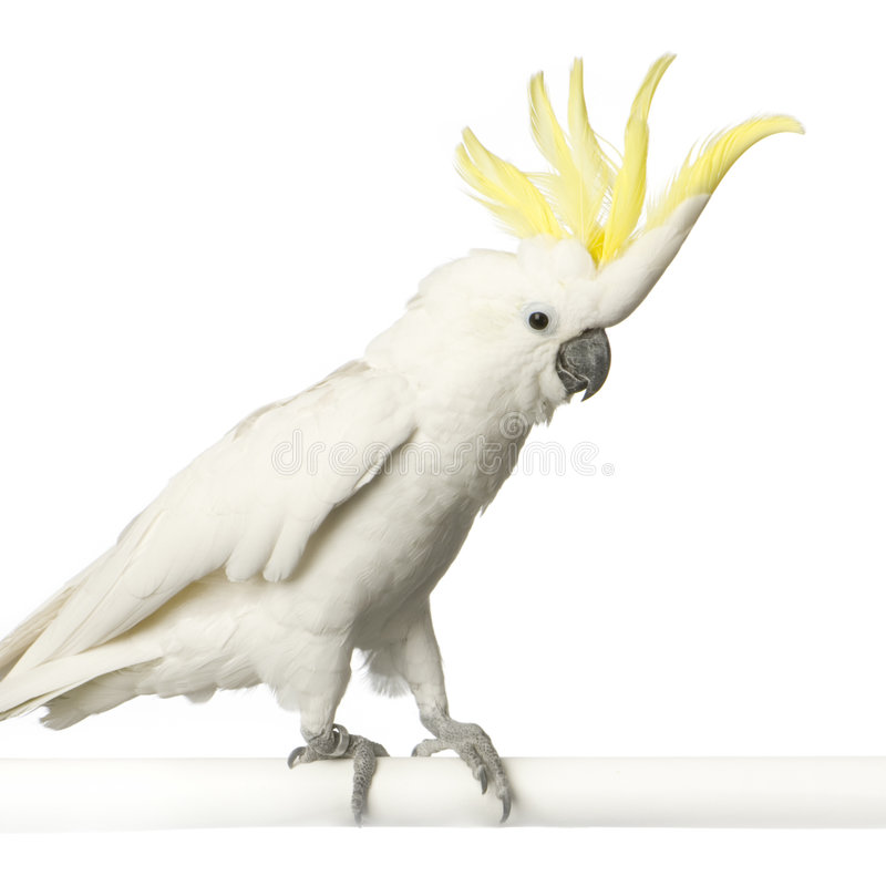 Free Yellow-crested Cockatoo Royalty Free Stock Photography - 2252987