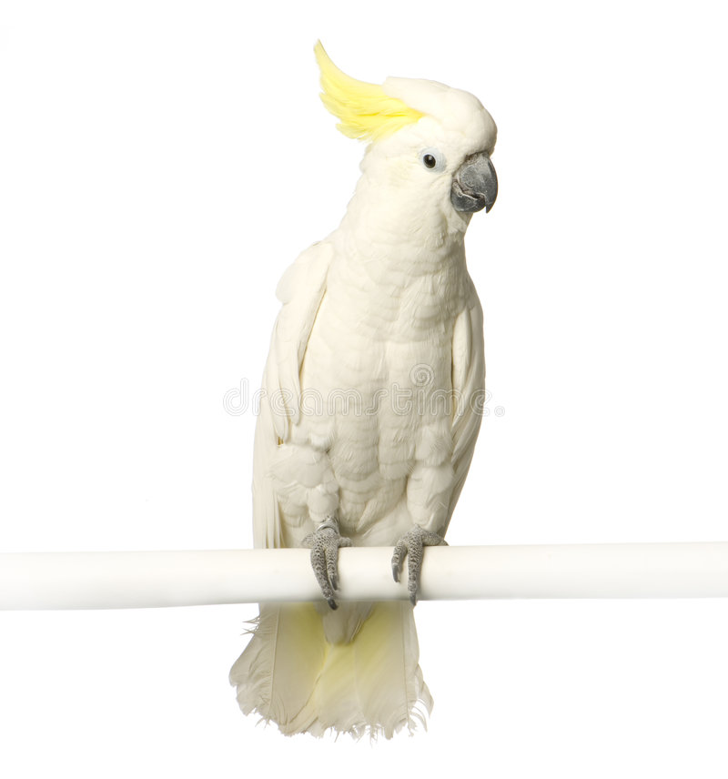 Download Yellow-crested Cockatoo stock photo. Image of perching - 2314460