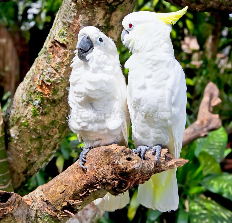 Yellow-crested white Cockatoo Parrot in nature stock photo