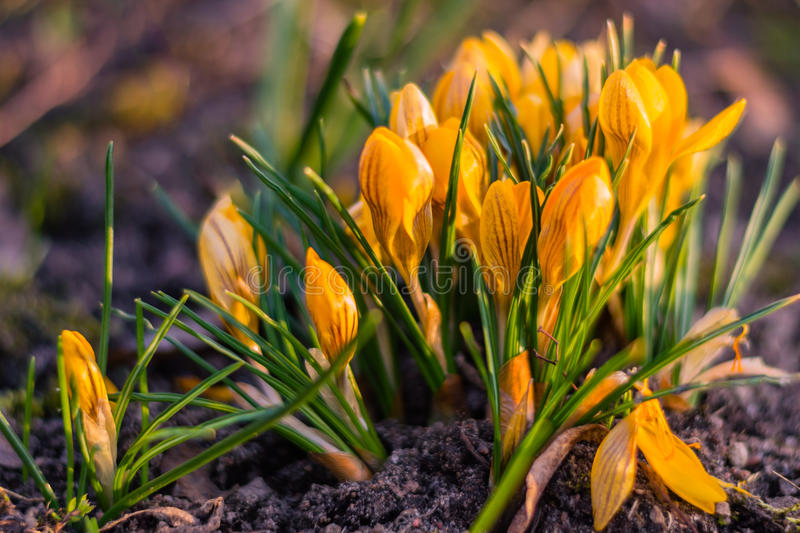 Yellow crocus blooming in early spring. Closeup at sunset. royalty free stock photos