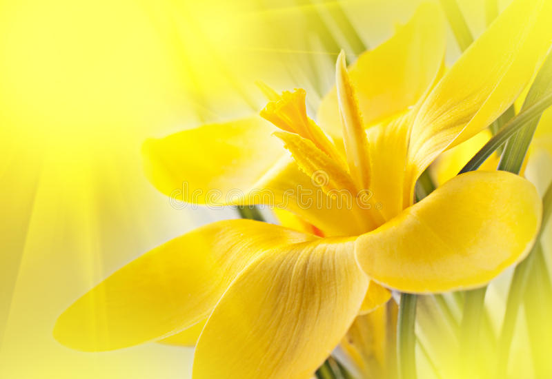 Yellow crocus flower. Nice background for your design with a yellow crocus flower stock images