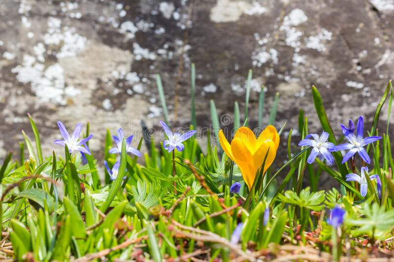 Yellow crocus flower with blue wood squill royalty free stock photos