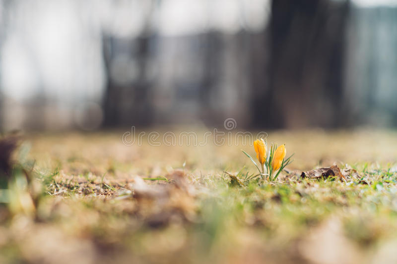 Yellow crocus flowers by early springtime royalty free stock images