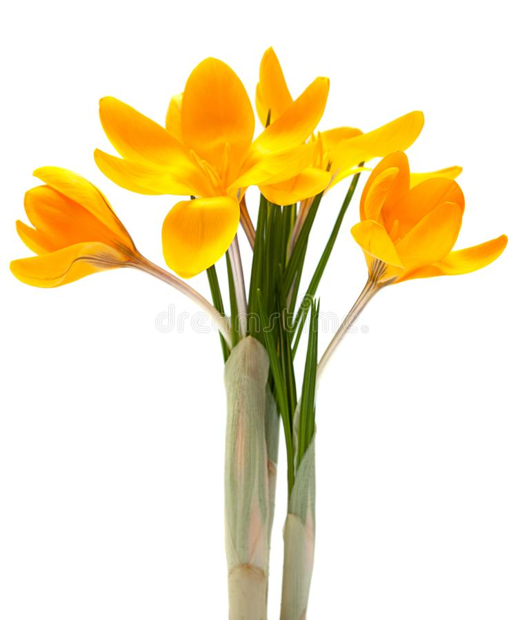 Yellow crocus spring flower. Closeup isolated on white background royalty free stock photos