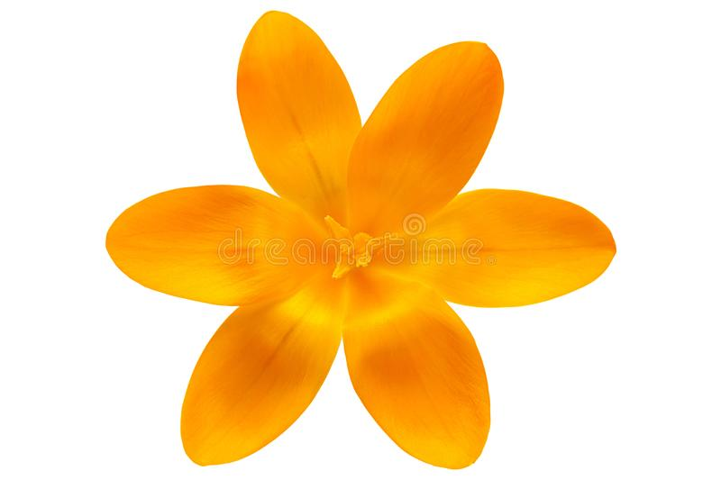 Yellow crocus spring flower. Closeup isolated on white background royalty free stock image