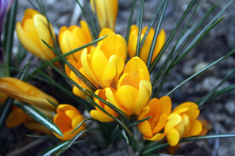 Yellow crocuses blooming in the garden background stock image