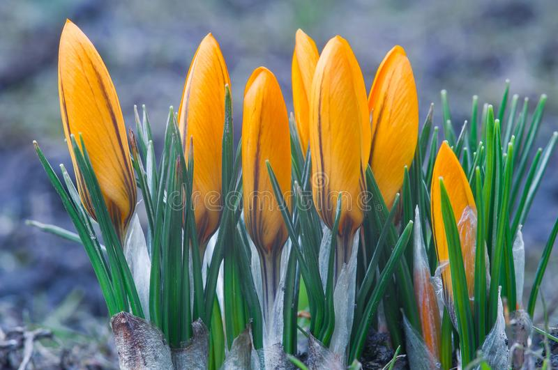 Yellow crocuses on a blue background close up royalty free stock image